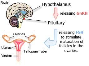 pre menopause